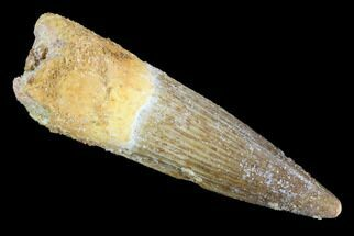 "1.95"" Spinosaurus Tooth - Real Dinosaur Tooth For Sale, #91145"