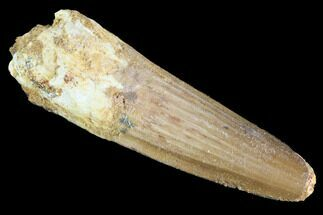 "2.16"" Spinosaurus Tooth - Real Dinosaur Tooth For Sale, #91148"