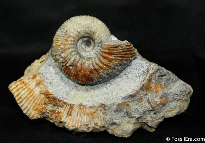 Cadoceras Ammonite In Matrix (1.35 inches)