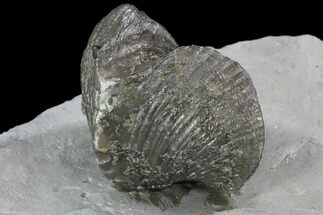 "2.25"" Fossil Brachiopod Mounted On Shale - Ohio For Sale, #91466"
