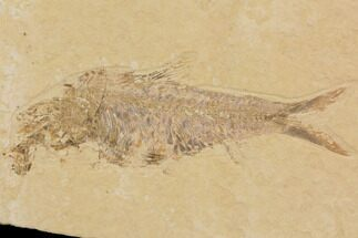 "Buy 8.2"" Fossil Fish Plate (Diplomystus & Knightia) - Wyoming - #91594"