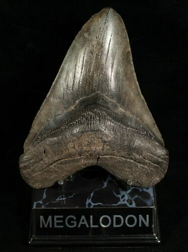 "5.66"" Megalodon Tooth - Morgan River, SC"