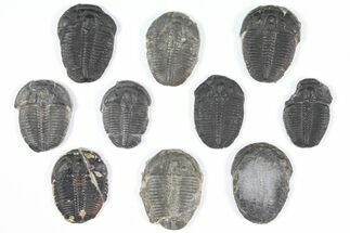 "Wholesale Lot: 1"" Elrathia Trilobites - 10 Pieces For Sale, #92081"