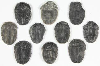 Elrathia kingii  - Fossils For Sale - #92130