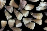 "Wholesale Box: 1-2"" Fossil Mosasaur Teeth - 50 Pieces - #92382-1"