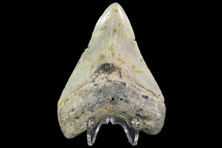 "4.08"" Fossil Megalodon Tooth - North Carolina"
