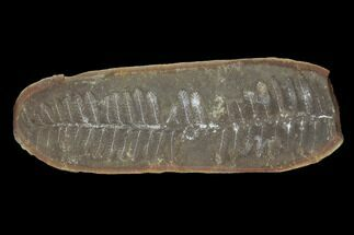 "Buy 3.8"" Pecopteris Fern Fossil (Pos/Neg) - Mazon Creek - #92275"