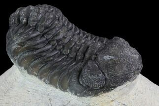 "Buy Bargain, 1.8"" Barrandeops Trilobite - Visible Eye Facets - #92206"