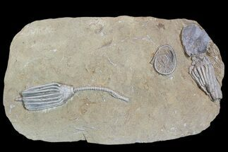 Buy 3 Crinoids and One Gastropod on One Plate - Crawfordsville, Indiana - #92527