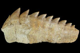 "Large, 2.3"" Fossil Cow Shark (Hexanchus) Tooth - Morocco For Sale, #92624"