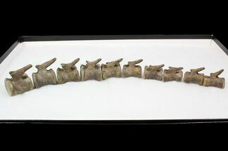 10 Associated Hadrosaur Vertebrae - Alberta (Disposition #000028-29) For Sale, #92645