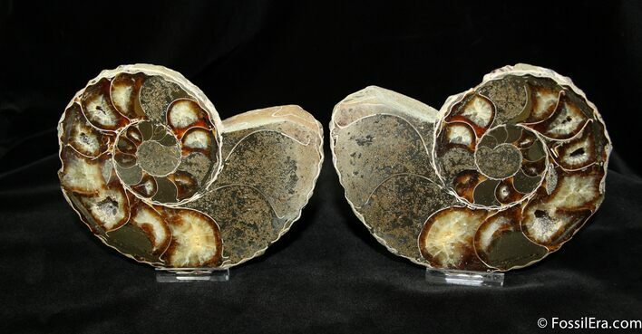Unusual Anapuzosia Ammonite (5.3 Inches)