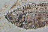 "28"" Wide Double Diplomystus Fossil Fish Plate - Ready To Hang - #92869-3"