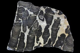 "7"" Polished Stromatolite (Boxonia) From Australia - 800 Million Years For Sale, #92873"
