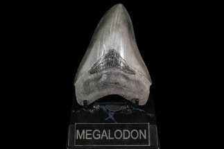 "4.59"" Fossil Megalodon Tooth - Georgia For Sale, #92909"