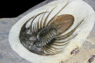"1.95"" Spiny Kolihapeltis Trilobite - Rare Species For Sale, #92930"