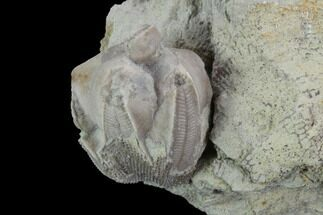 ".6"" Blastoid (Pentremites) Fossil - Illinois For Sale, #92228"