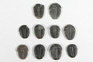"Buy Lot: 3/4"" Elrathia Trilobites - 10 Pieces - #92020"