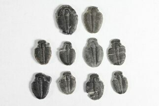 "Wholesale Lot: 3/4"" Elrathia Trilobite Molt Fossils - 10 Pieces For Sale, #92042"