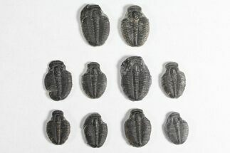 "Buy Lot: 3/4"" Elrathia Trilobite Molt Fossils - 10 Pieces - #92050"