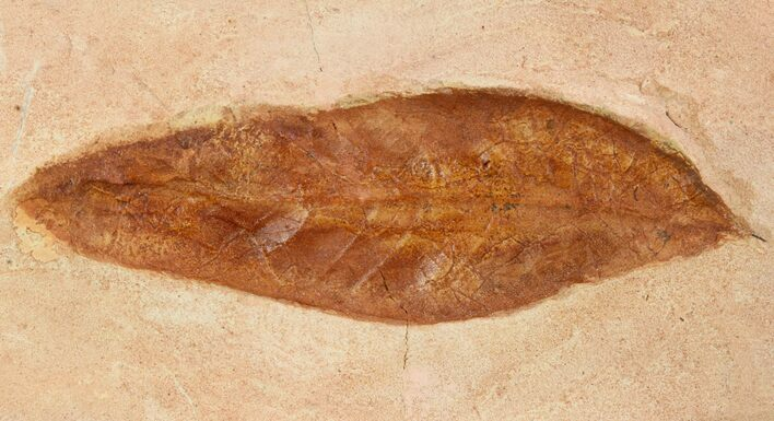 "4.3"" Red Fossil Leaf (Fraxinus) - Montana"