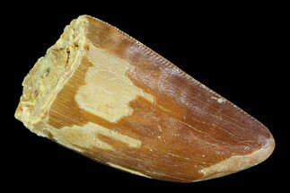 "Serrated, 1.4"" Juvenile Carcharodontosaurus Tooth For Sale, #93206"