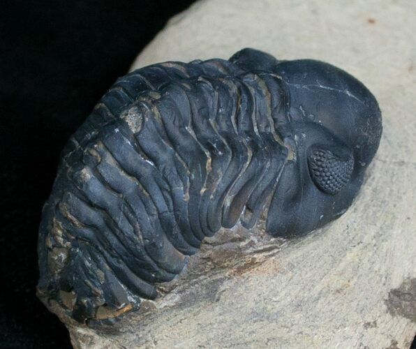 Bargain Reedops Trilobite - 1.4 Inches