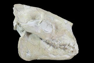 "4.7"" Oreodont (Merycoidodon) Skull - Wyoming For Sale, #93752"