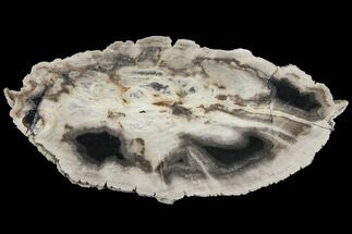 "Buy 8"" Polished Petrified Wood (Dicot) Slab - Texas - #93874"