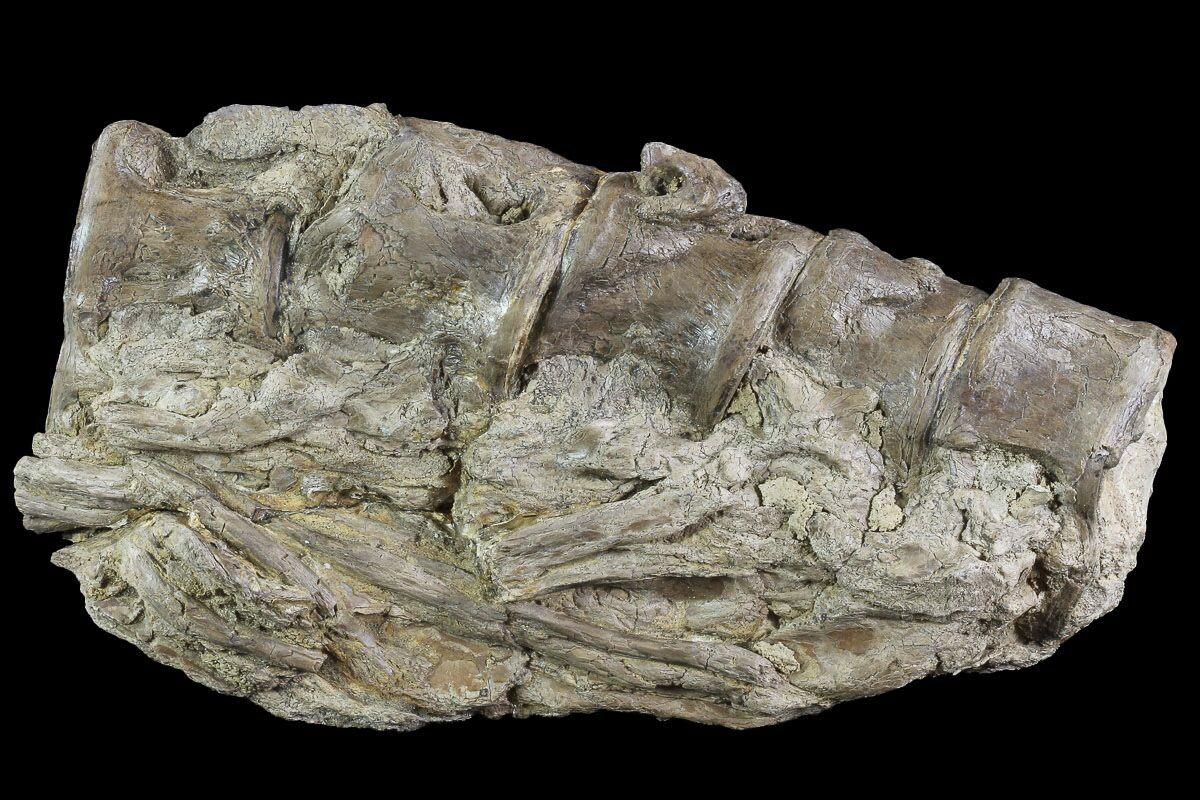 "7.3"" Five Associated Xiphactinus Vertebra - Kansas For ..."