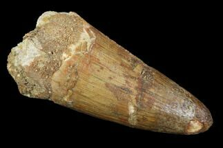 "1.98"" Fossil Crocodile (Elosuchus) Tooth - Kem Kem Beds, Morocco For Sale, #94205"