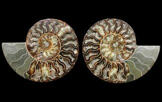 "7.7"" Cut & Polished Ammonite Fossil - Deep Crystal Pockets For Sale, #94202"