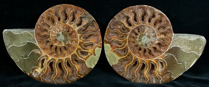 "Beautiful 6.1"" Cut & Polished Ammonite"