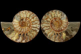 Cleoniceras - Fossils For Sale - #94200