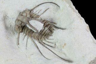 "2.15"" Dicranurus Trilobite - Black Cat Mountain, Oklahoma For Sale, #94646"