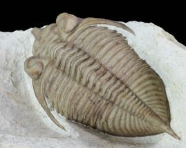 "1.7"" Huntonia Trilobite - Black Cat Mountain, Oklahoma For Sale, #94832"