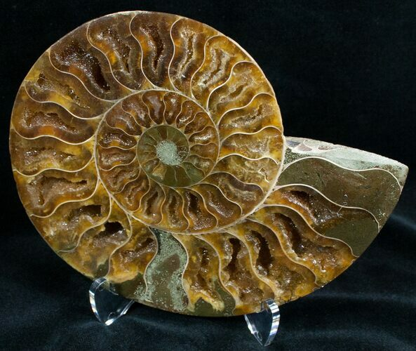 "5"" Split Ammonite Fossil (Half)"