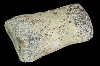 "1.4"" Hadrosaur Finger Bone - Alberta (Disposition #000028-29) For Sale, #95159"
