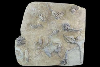 "Buy 14.3"" Crinoid Plate (10 species) - Indiana  - #95203"