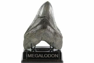 "Buy 5.31"" Fossil Megalodon Tooth - South Carolina - #95326"