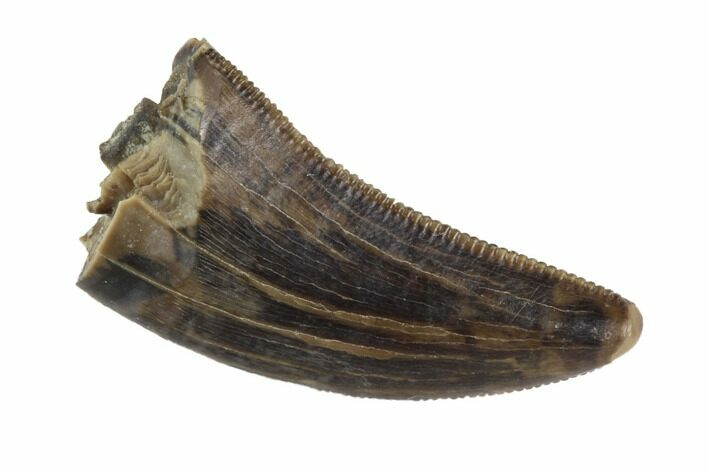 "Serrated, .72"" Juvenile Tyrannosaur Tooth - Judith River Formation"