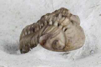 Kainops raymondi - Fossils For Sale - #95712