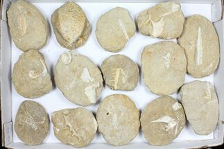 Buy Wholesale Flat: Cretaceous Marine Vertebrate Fossils - 15 Pieces - #96112