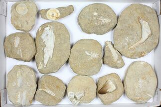 Wholesale Flat: Cretaceous Marine Vertebrate Fossils - 13 Pieces For Sale, #96113