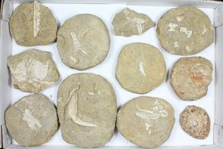 Buy Wholesale Flat: Cretaceous Marine Vertebrate Fossils - 11 Pieces - #96115