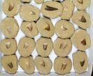 Wholesale Flat: Fossil Mosasaur Teeth In Matrix - 35 Pieces - #96120-1