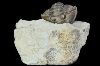 ".79"" Wide Enrolled Flexicalymene Trilobite - Mt. Orab, Ohio For Sale, #95813"