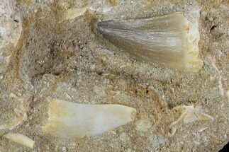 Buy Fossil Mosasaur Tooth With Enchodus Fang - Morocco - #96193