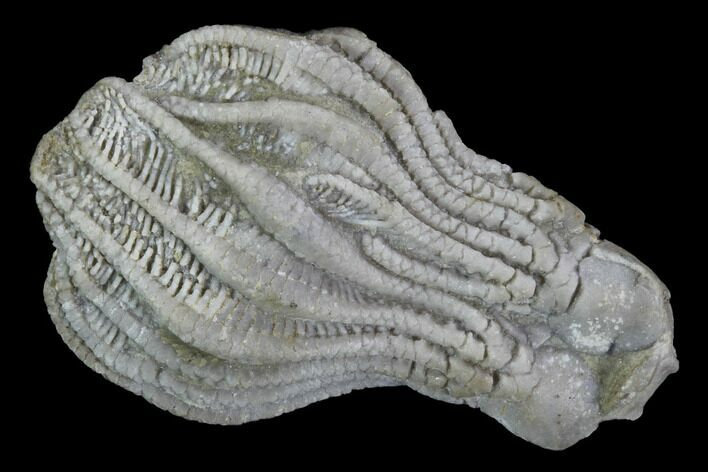 "1.5"" Platycrinites Crinoid Crown From Alabama"