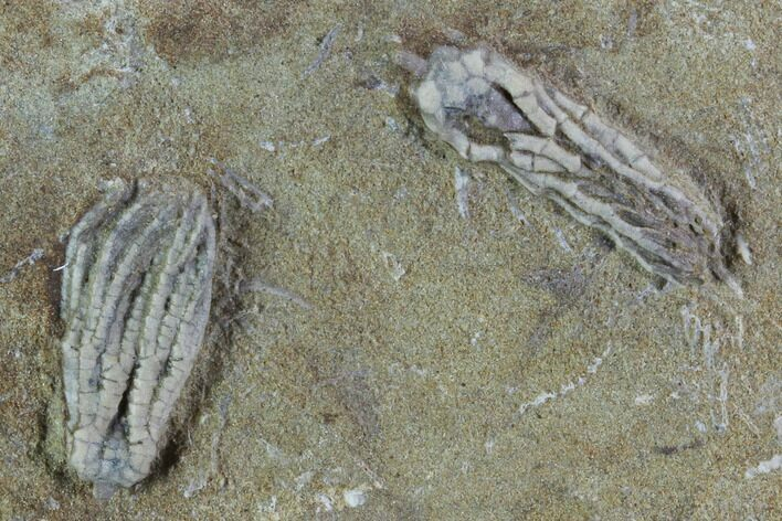 Two Fossil Crinoids - Crawfordsville, Indiana
